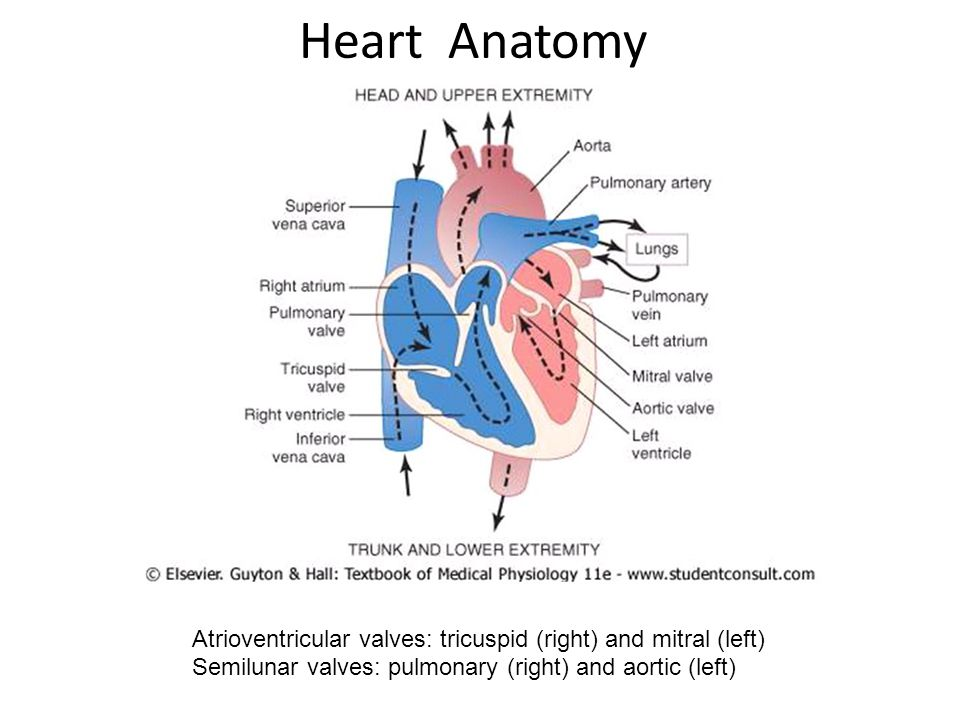 Heart Anatomy Atrioventricular valves: tricuspid (right) and mitral (left) Semilunar valves: pulmonary (right) and aortic (left)