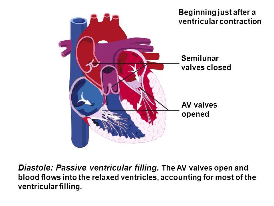 Diastole: Passive ventricular filling. The AV valves open and