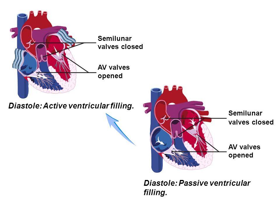 Diastole: Active ventricular filling.