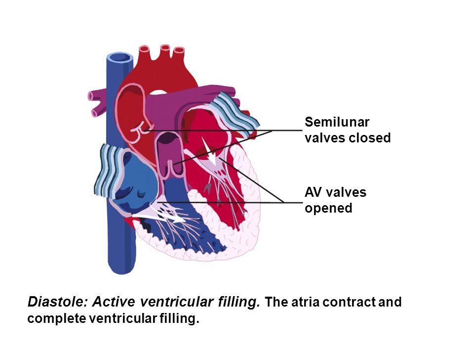 Semilunar valves closed. AV valves. opened. Diastole: Active ventricular filling.