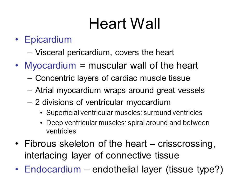 Heart Wall Epicardium Myocardium = muscular wall of the heart