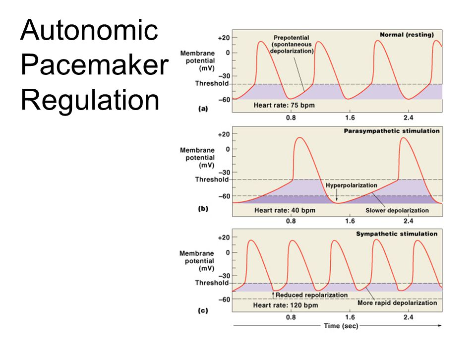 Autonomic Pacemaker Regulation