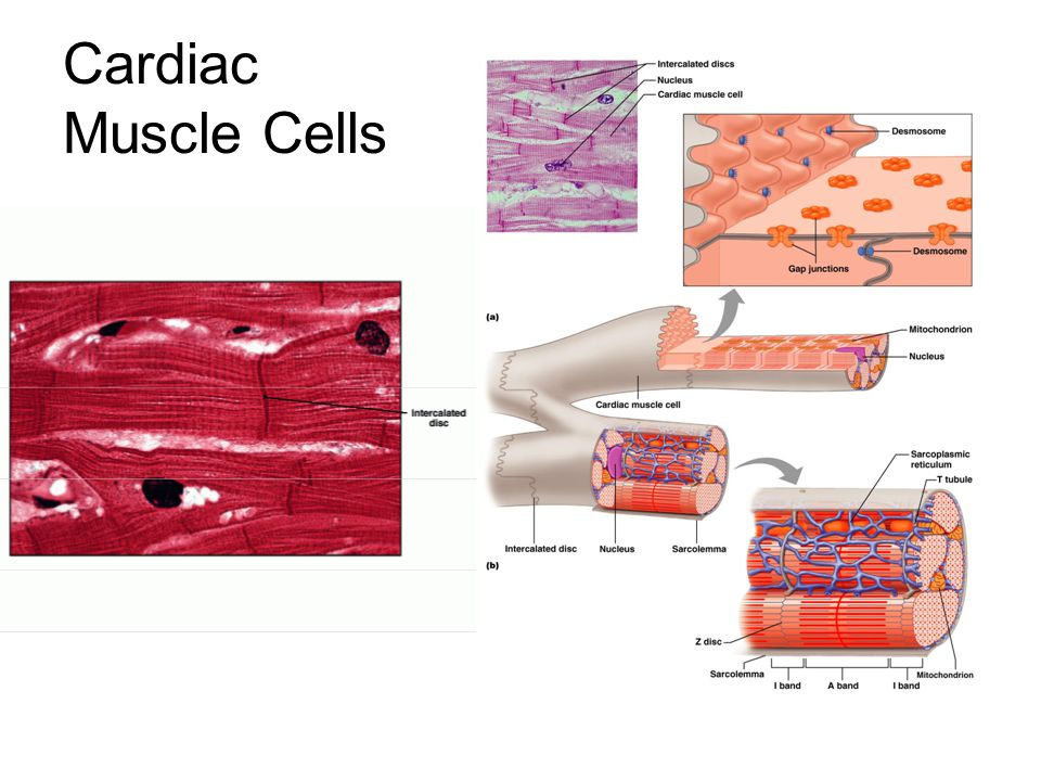 Cardiac Muscle Cells Figure 20–5