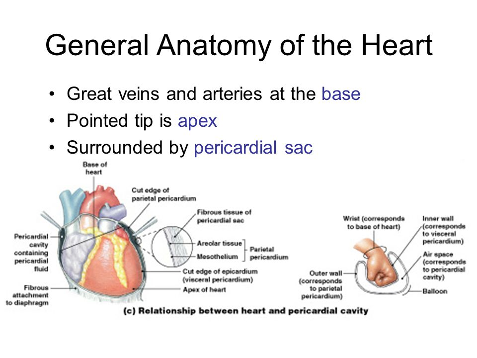 General Anatomy of the Heart