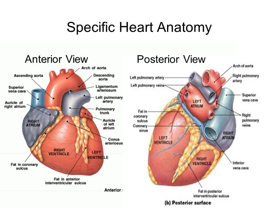 Specific Heart Anatomy