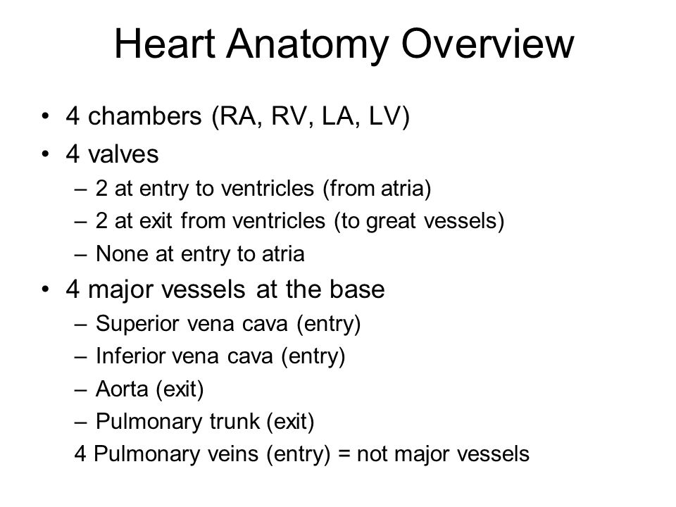 Heart Anatomy Overview