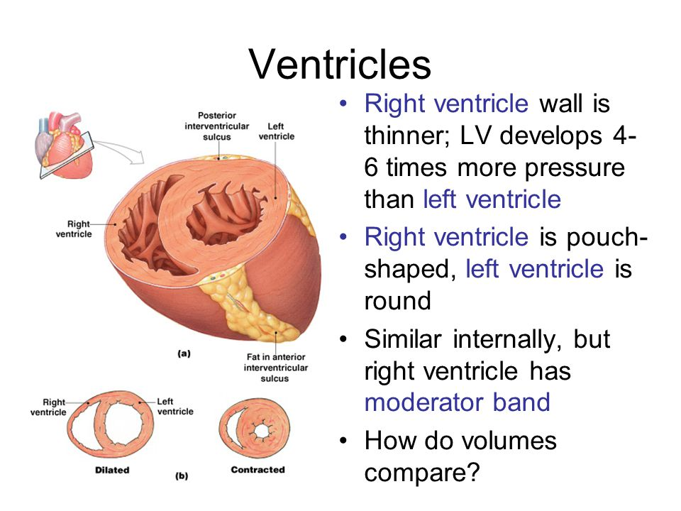 Ventricles Right ventricle wall is thinner; LV develops 4-6 times more pressure than left ventricle.