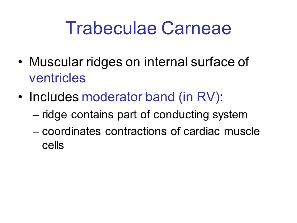 Trabeculae Carneae Muscular ridges on internal surface of ventricles