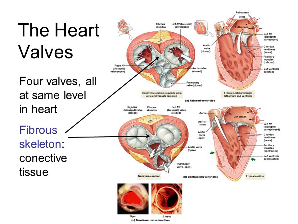 The Heart Valves Four valves, all at same level in heart