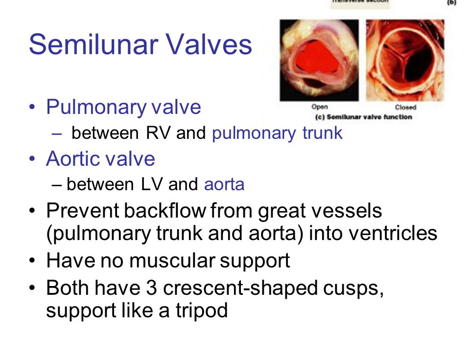 Semilunar Valves Pulmonary valve Aortic valve