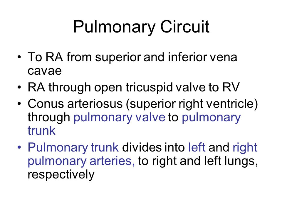 Pulmonary Circuit To RA from superior and inferior vena cavae