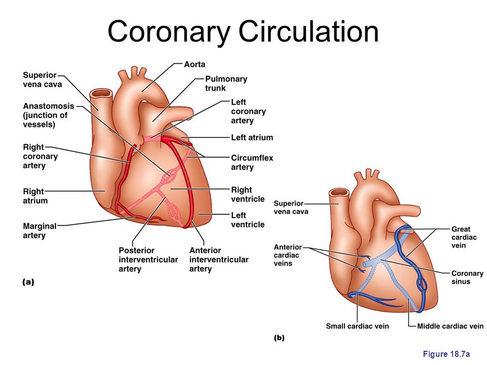 Coronary Circulation Figure 18.7a