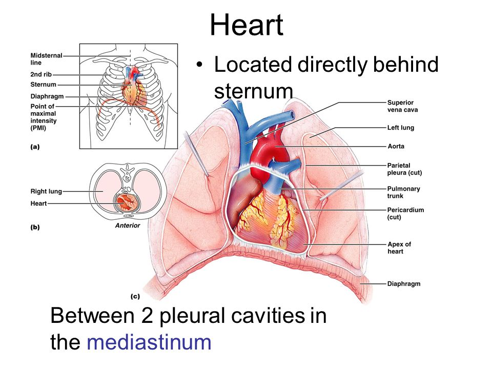 Heart Located directly behind sternum