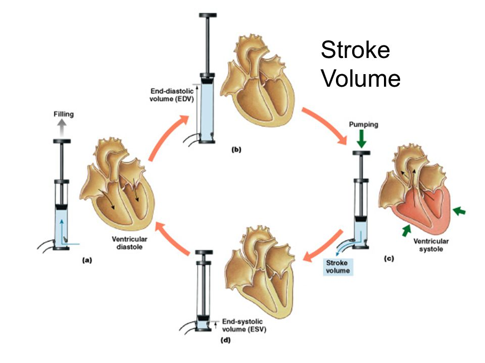 Stroke Volume Figure 20–19
