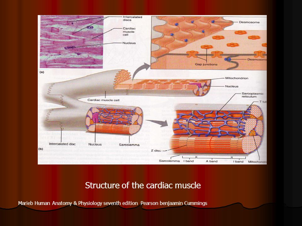 Structure of the cardiac muscle
