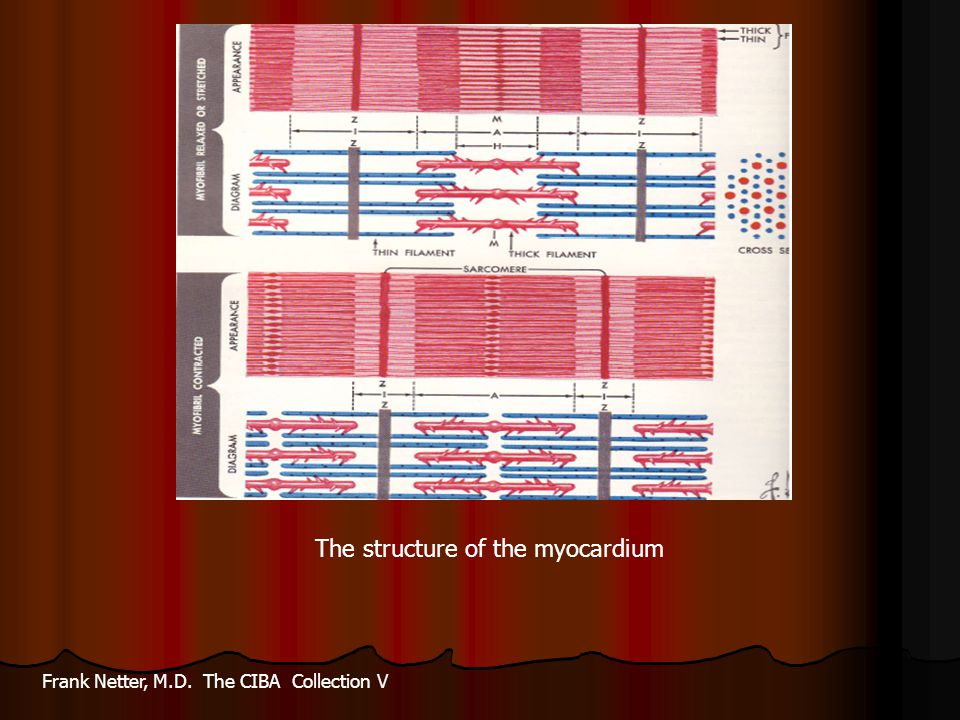 The structure of the myocardium