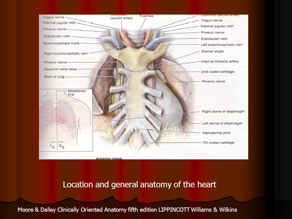 Location and general anatomy of the heart
