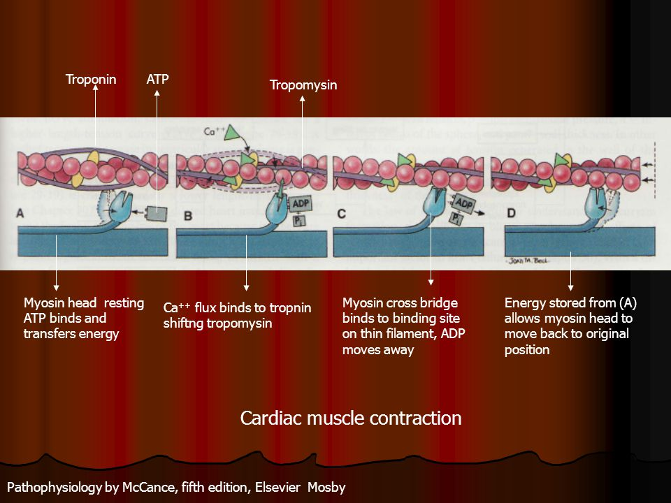 Cardiac muscle contraction