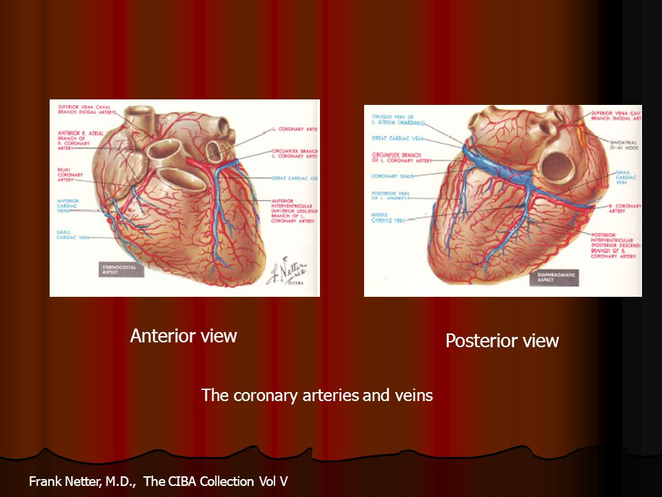 Anterior view Posterior view The coronary arteries and veins