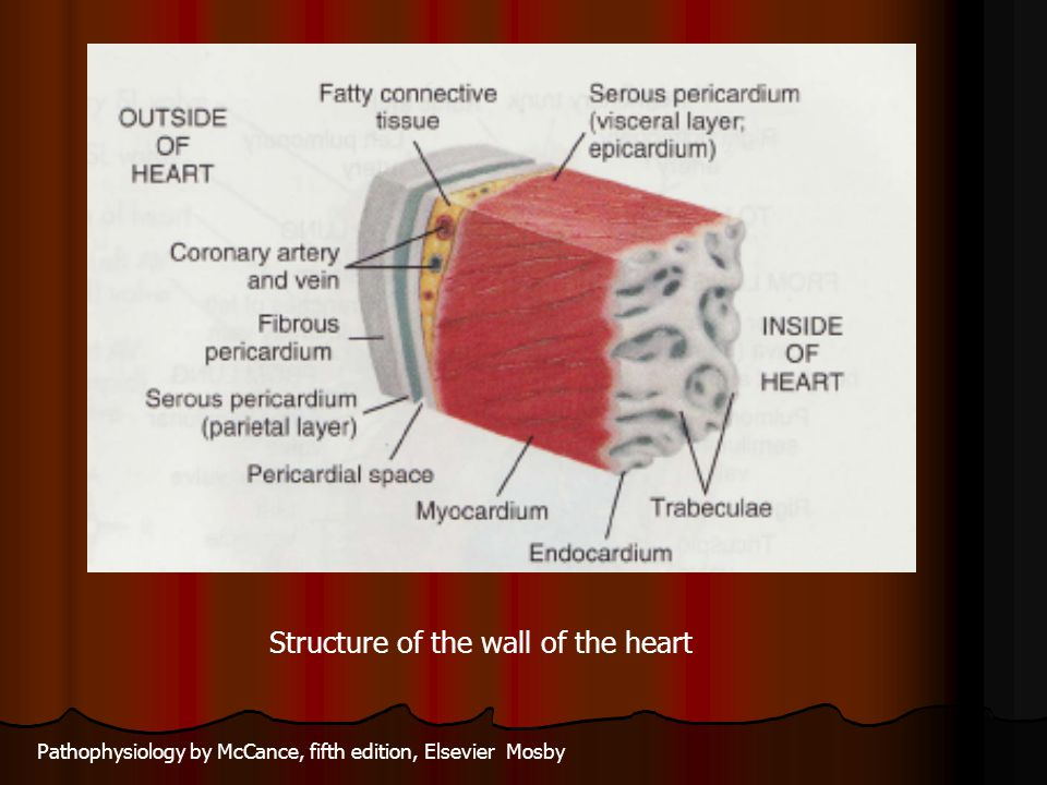 Structure of the wall of the heart