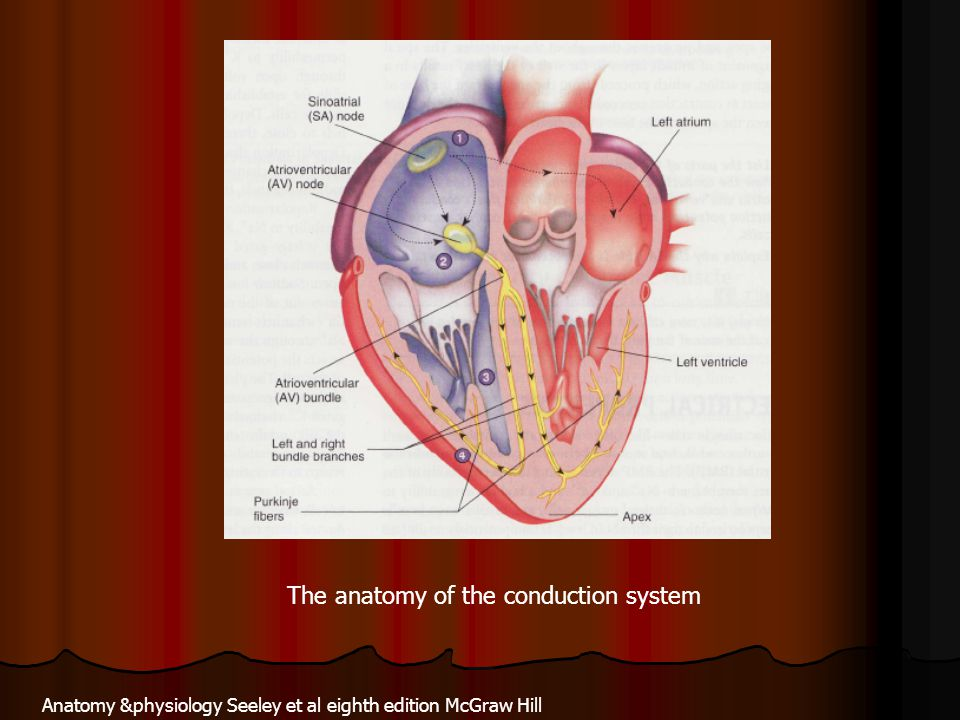The anatomy of the conduction system