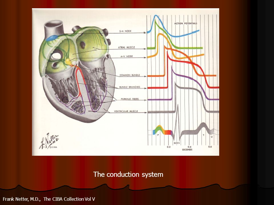 The conduction system Frank Netter, M.D., The CIBA Collection Vol V