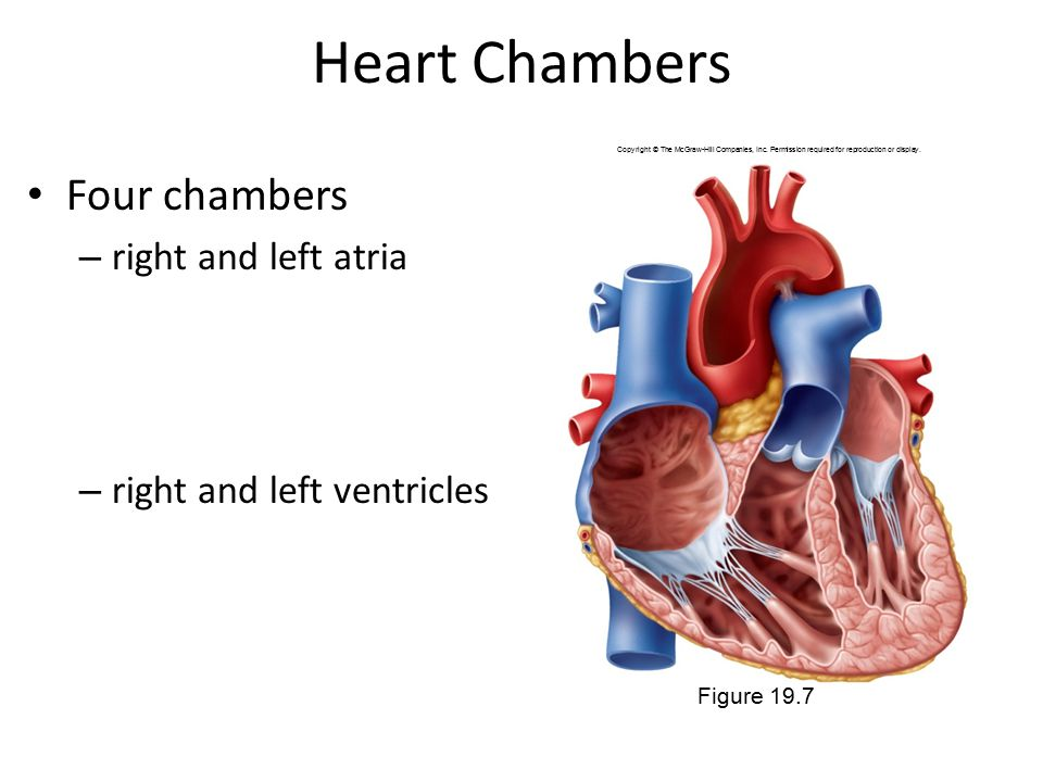 Heart Chambers Four chambers right and left atria