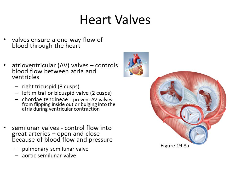 Heart Valves valves ensure a one-way flow of blood through the heart