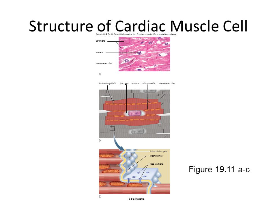 Structure Of Cardiac Muscle Cell on Mitochondria Atp Diagram