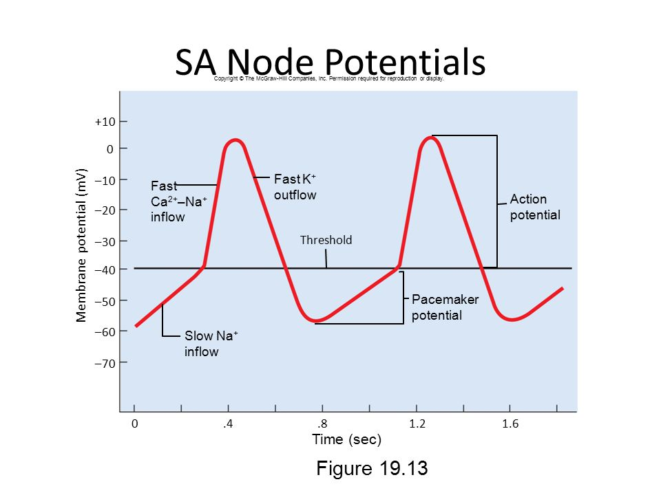 SA Node Potentials Figure 19.13 Membrane potential (mV) Time (sec) +10