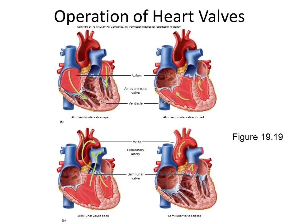 Operation of Heart Valves