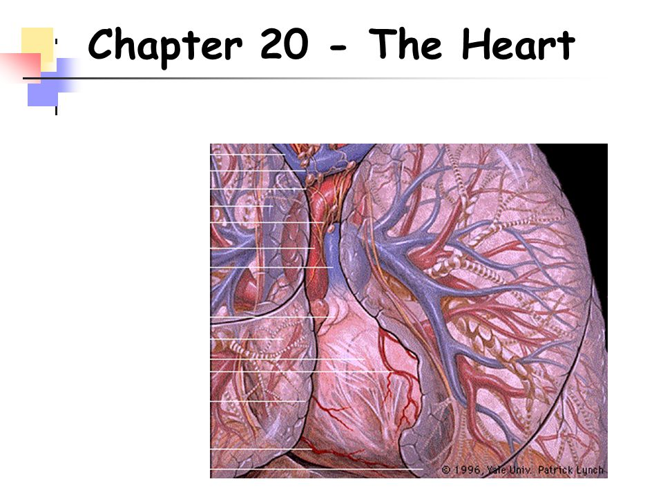 Chapter 20 - The Heart