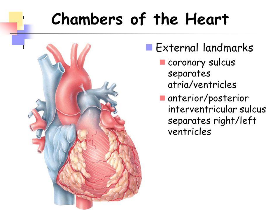 Chambers of the Heart External landmarks