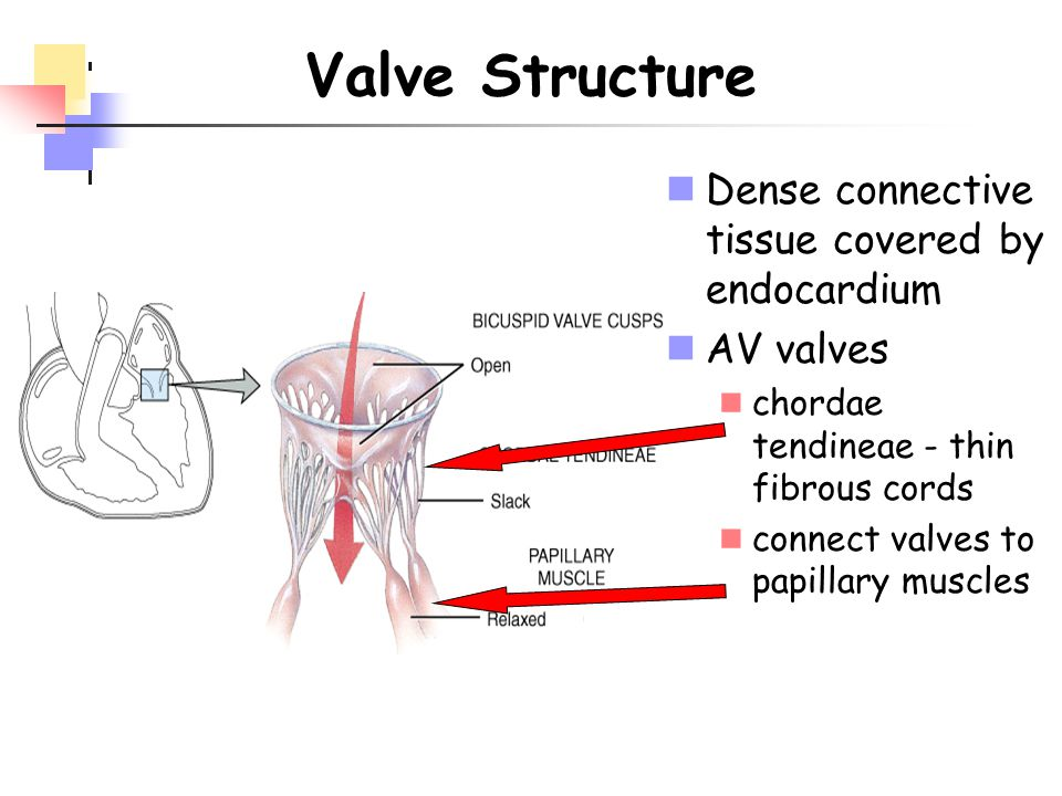 Valve Structure Dense connective tissue covered by endocardium
