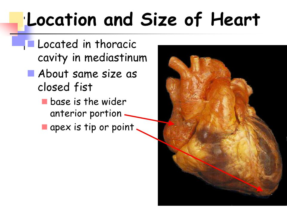 Location and Size of Heart