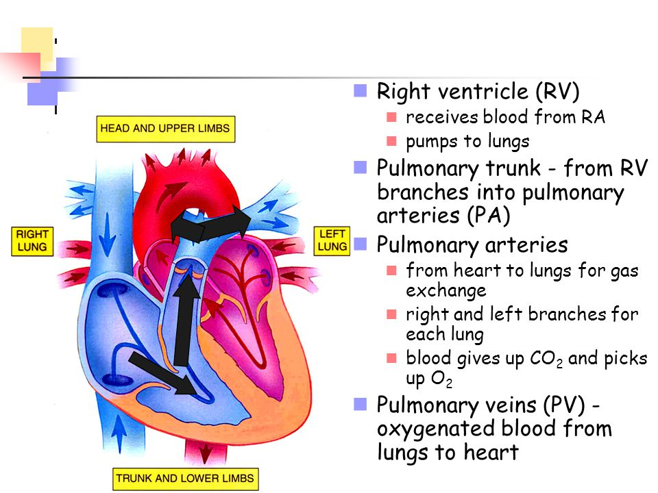 Pulmonary trunk - from RV branches into pulmonary arteries (PA)