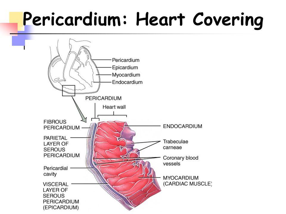 Pericardium: Heart Covering
