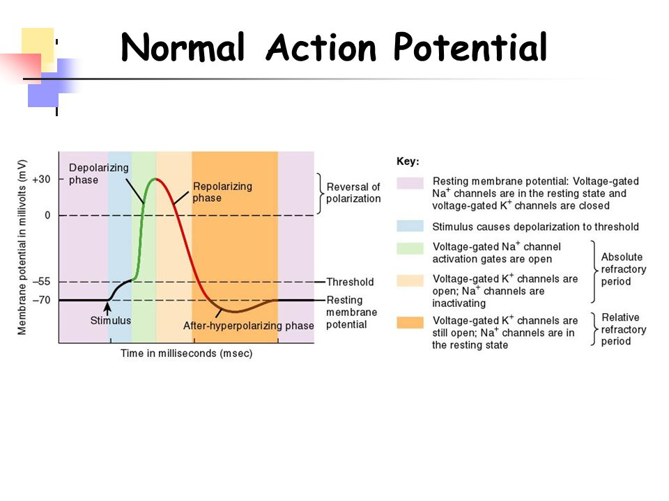 Normal Action Potential