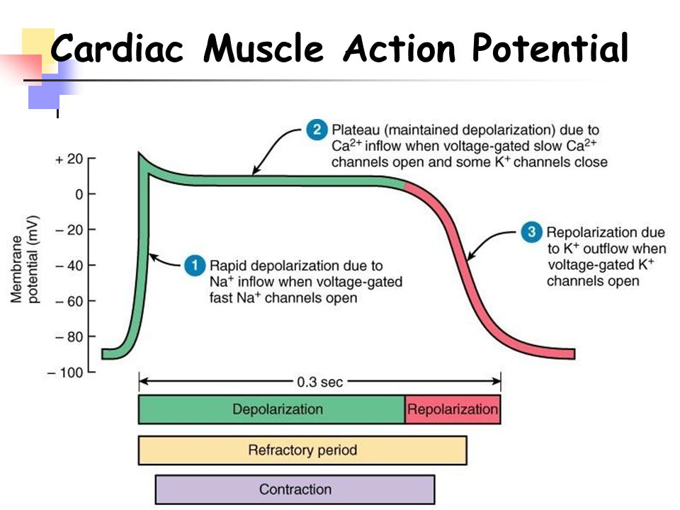 Cardiac Muscle Action Potential