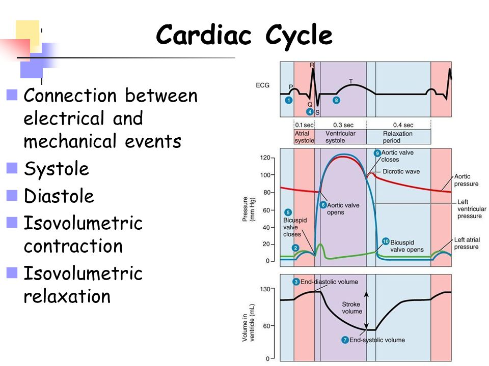 Cardiac Cycle Connection between electrical and mechanical events