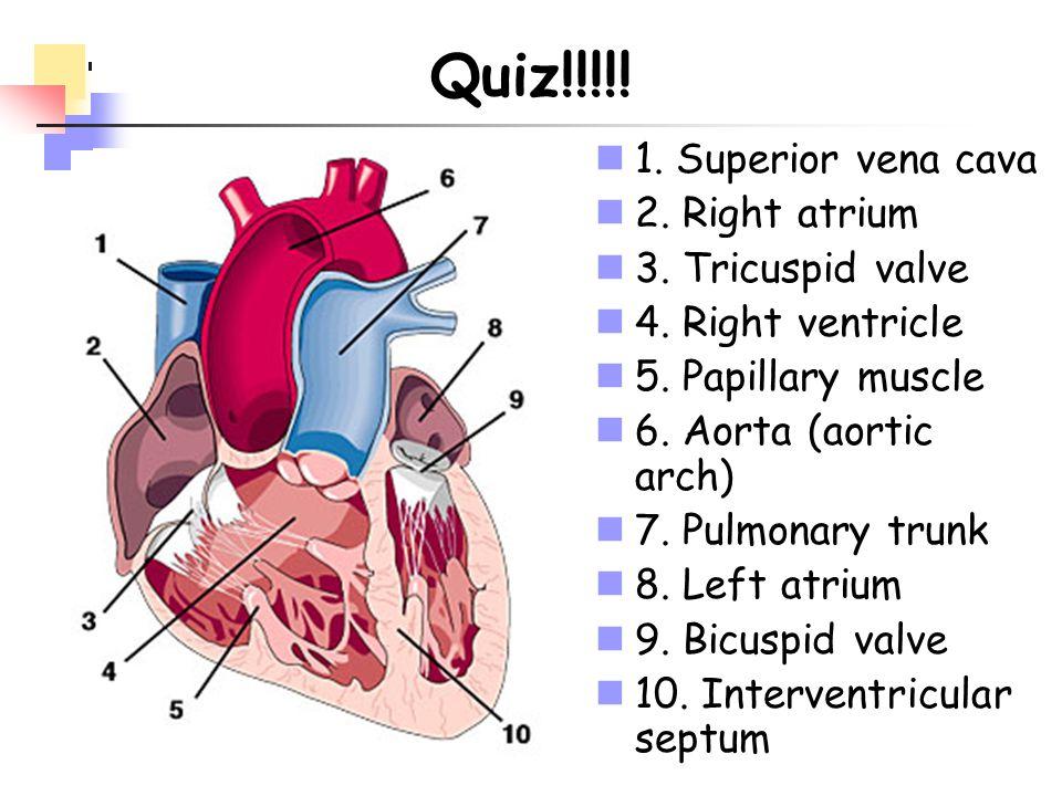 Quiz!!!!! 1. Superior vena cava 2. Right atrium 3. Tricuspid valve