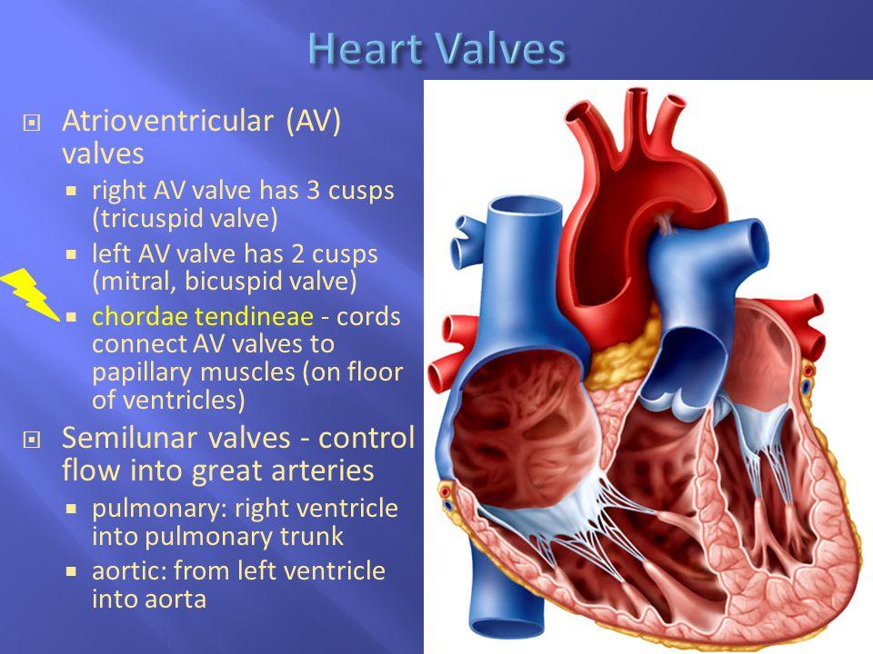 Heart Valves Atrioventricular (AV) valves