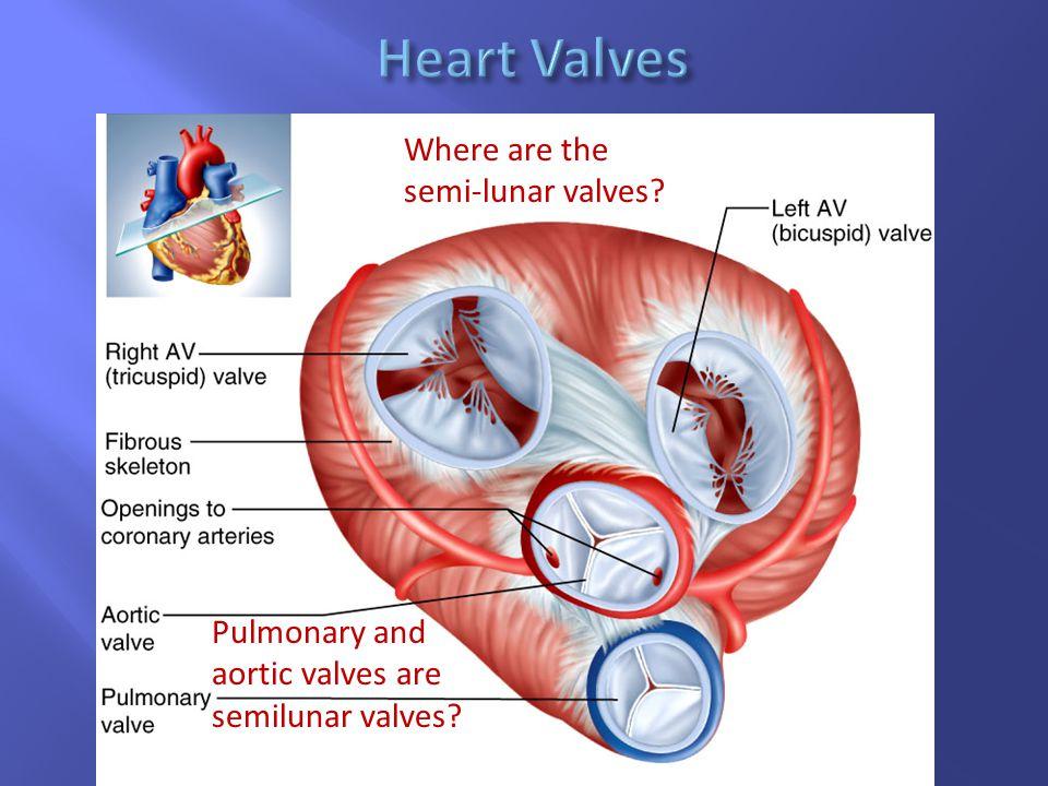 Heart Valves Where are the semi-lunar valves