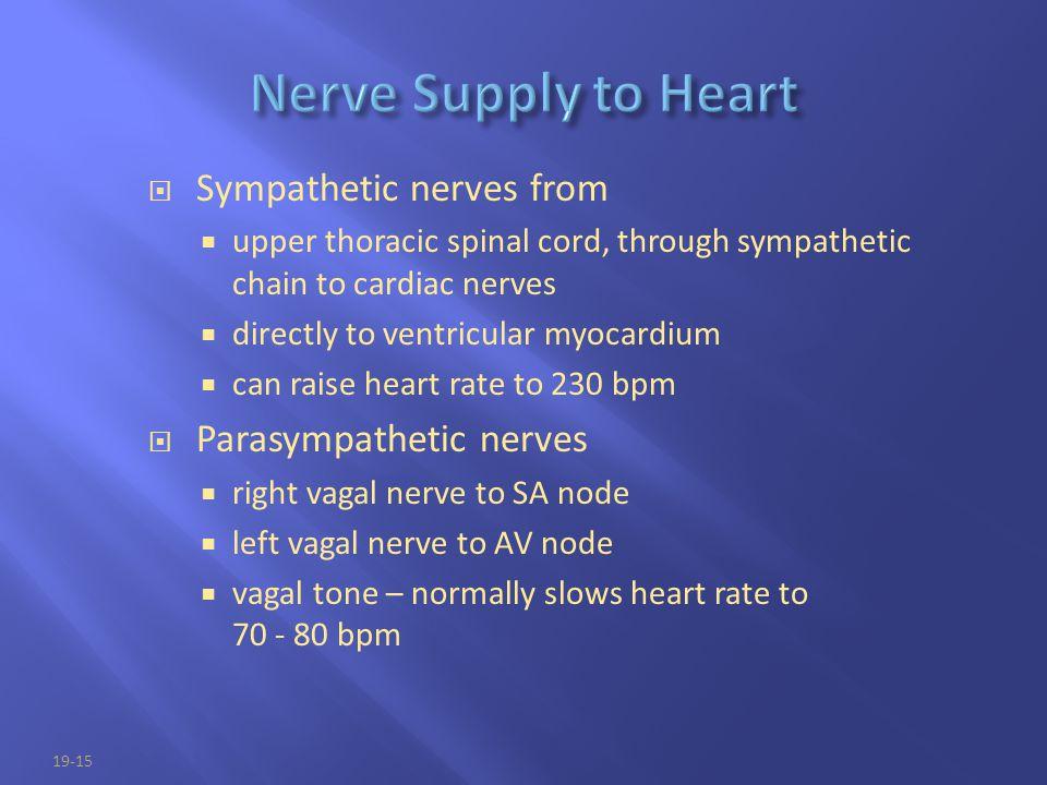 Nerve Supply to Heart Sympathetic nerves from Parasympathetic nerves