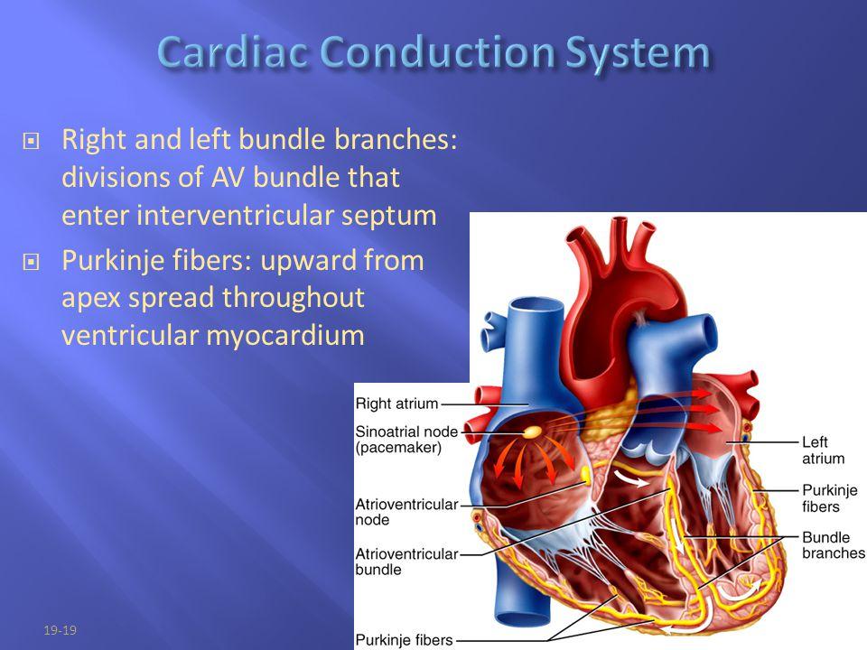 Cardiac Conduction System