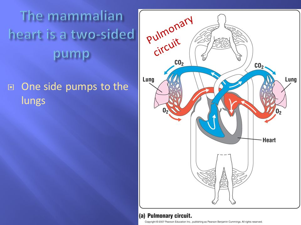The mammalian heart is a two-sided pump