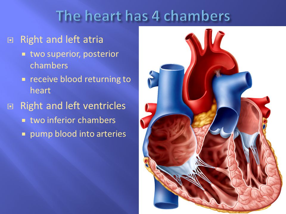 The heart has 4 chambers Right and left atria