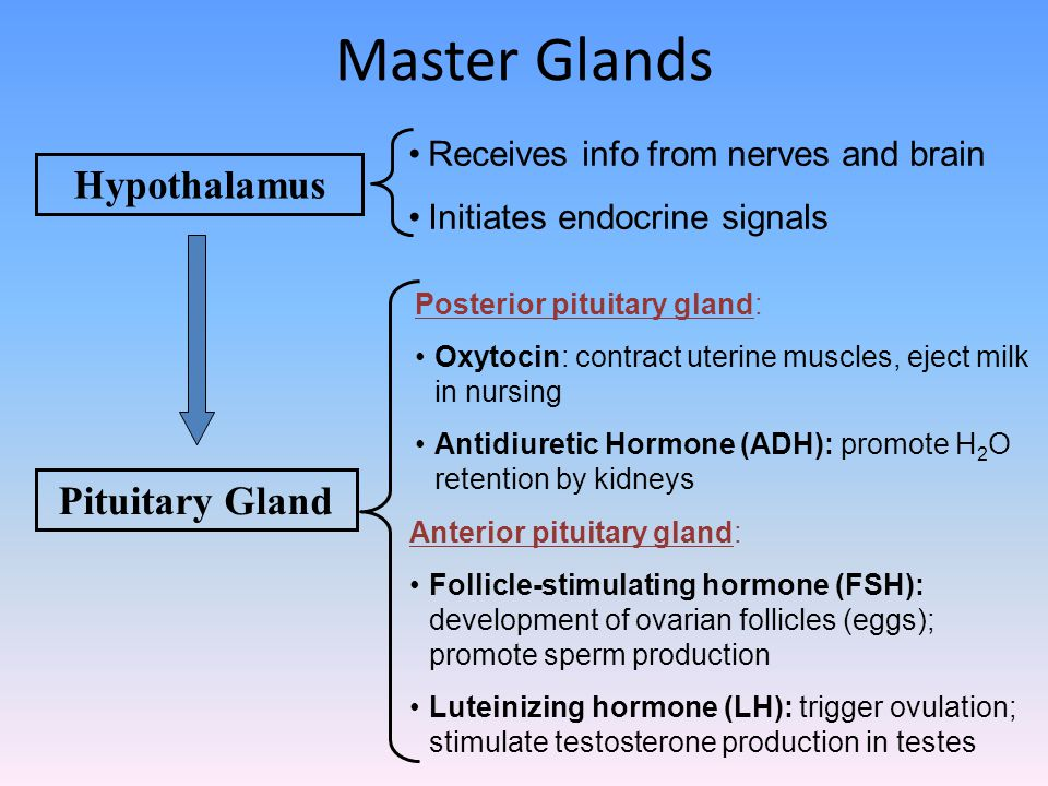 Master Glands Hypothalamus Pituitary Gland