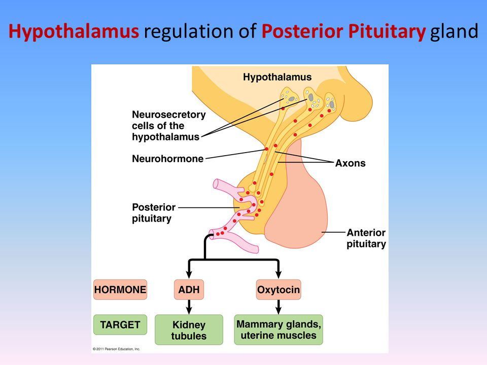 Hypothalamus regulation of Posterior Pituitary gland