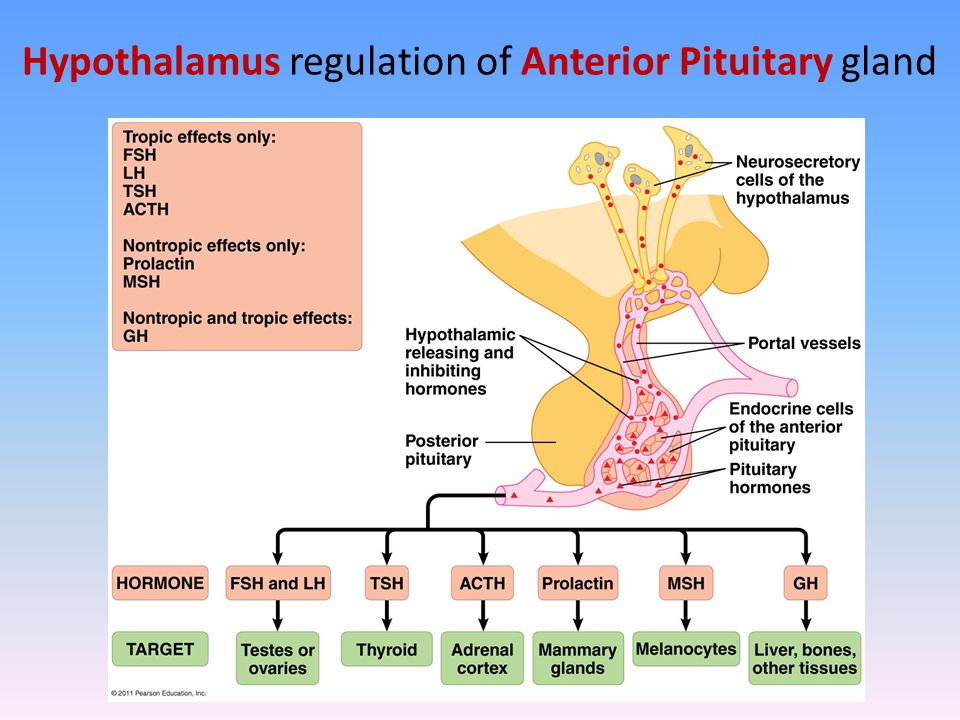 Hypothalamus regulation of Anterior Pituitary gland
